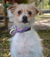 wire haired terrier mix. Plain Wire Wire Haired Terrier And Chihuahua Mix To