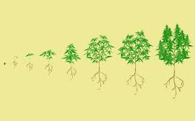 Cannabis Plant Growth Chart Stages Of The Marijuana Plant Growth Cycle In Pictures Leafly