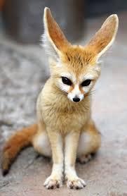 Bildergebnis für fennec fox