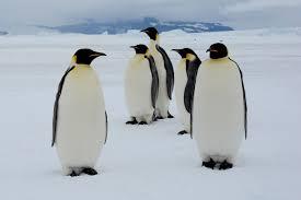 real emperor penguin. Plain Real Inside Real Emperor Penguin E