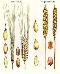 Селекция короткостебельных сортов озимой пшеницы ru  Короткостебельные сорта озимой пшеницы Парус durum Мироновская 25