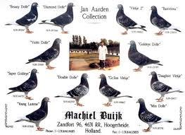 """Résultat de recherche d'images pour """"pigeon jan aarden"""""""