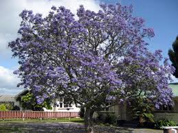 Jacaranda Afrikaans Top 20 Chart Jacaranda Mimosifolia Wikipedia