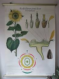 Vintage Pull Roll Down School Chart Poster Of A Sunflower