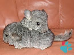 Calculate Chinchilla In Human Years Equivalence