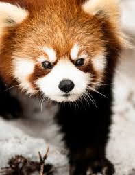 red panda wall art animal photography by photographysource 17 00 on red panda wall art with red panda wall art animal photography by photographysource 17 00