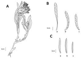 Centaurea malatyensis. A. Habit, B. Leaves (a. basal; b. median; c ...