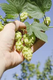 Hops For Decoration Hops Flowering Plants Learn About Growing Hops Plants In The Garden