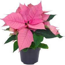 Weihnachtsstern Rosa Topf ø Ca 105 Cm Euphorbia Pulcherrima