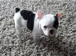 black teacup french bulldog.  Black Location West Palm Beach FL To Black Teacup French Bulldog