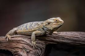 How Big Do Bearded Dragons Get Size And Age Guide