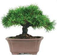 mugo pine bonsai outdoor bought bonsai tree
