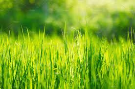 green grass field. Green Grass Field Background I