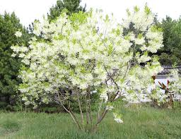 How To Identify And Grow Your Own Fringe Tree Old Mans Beard
