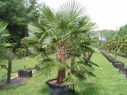 Grow Windmill Palm Trees In Your Front Yard For Decoration