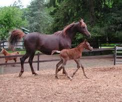 chestnut arabian horse wallpaper. Modren Wallpaper Liver Chestnut Arabian Mare N Foal On Chestnut Horse Wallpaper H