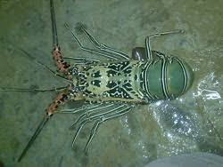 Hasil gambar untuk budidaya lobster mutiara