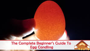 Egg Candling Chart The Complete Beginners Guide To Egg Candling