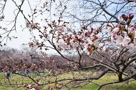 サクラ開花状況(3/31)   国営昭和記念公園公式ホームページ
