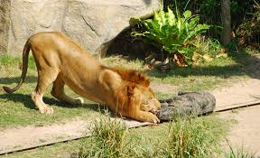 wild animals in african jungle. Delighful African African Lion Facts Throughout Wild Animals In Jungle