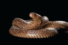 cobra snakes images king cobra snake images hd