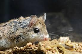 Kết quả hình ảnh cho con chuột mỹ