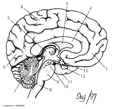 Drawn brain unlabeled lateral - Pencil and in color drawn brain ...