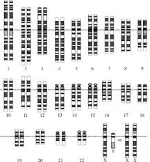 graphical representation of the idealized human diploid karyotype showing the organization of the genome into chromosomes this drawing shows both the