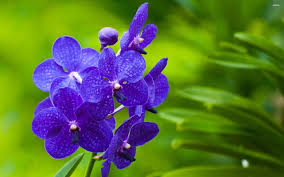 blue orchids wallpaper flower wallpapers 28784