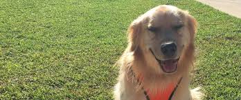 Canine Lymphoma Symptoms Fighting And Winning Against Lymphoma Morris Animal Foundation