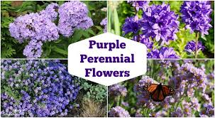 <b>Purple</b> Perennial <b>Flowers</b>: 24 Brilliant Choices for Gardens