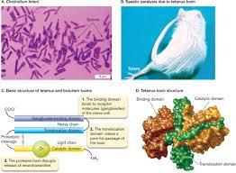 tetanus toxin microbiology 4e