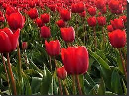 Risultati immagini per tulipani rossi significato