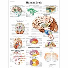 Brain Chart Human Brain Chart