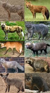 Canine Evolution Chart Canidae Wikipedia