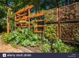 vertical vegetable garden growing on a beautiful wooden trellis in bellevue washington usa