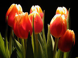 Image result for tulip photos