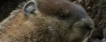 getting rid of groundhogs mothballs. Exellent Groundhogs The Reality Is That They Are Likely To Be More Of A Nuisance Other Than  Anything Else And The Groundhogs Will Usually Ignore These Chemicals If Left Near  In Getting Rid Of Groundhogs Mothballs R