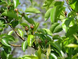 Plum Tree Not Fruiting Part  48 Gardening Know How  Home Plum Tree Not Producing Fruit