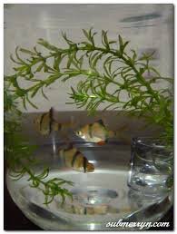 Image result for PICTURE OF FISH IN A HORLICKS BOTTLE