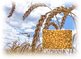 Пшеница как культура ХитАгро ru Зерно мягкой пшеницы используют для выработки хлебопекарной и кондитерской в небольшом количестве макаронной муки