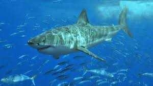 Tiger Shark Classification Chart 11 Shark Species You May Spot In Australias Oceans