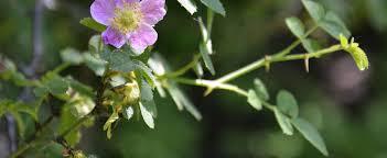 Species, Wild Rose, Old Garden, Pine-scented Rose Rosa glutinosa
