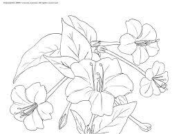 オシロイバナの下絵夏の花のぬりえ
