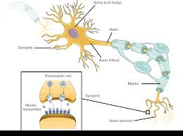 Overview Of Neuron Structure And Function Article Khan
