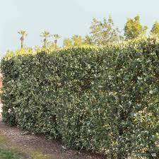 Carolina Laurel Bright 'N Tight™   Monrovia — Green Acres ...