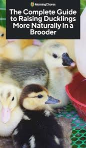 raise ducklings more naturally in a brooder