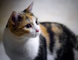 Image result for tortoiseshell and white cat