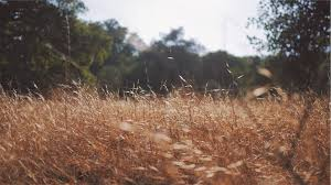 dry grass field background. Dry Grass Nature Yellow Field Plants Summer Background R