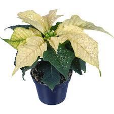 Mini Weihnachtsstern Weiß Mit Silberglitzer Topf ø Ca 6cm Euphorbia Pulcherrima
